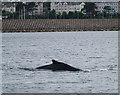 J5082 : Humpback whale, Bangor Bay by Rossographer