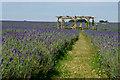 TQ2761 : Mayfield Lavender, Woodmansterne, Surrey by Peter Trimming