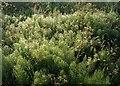 SP2755 : Dew on horsetail by Derek Harper