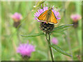 TQ5538 : Small brown butterfly by Stephen Craven