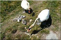 SH4093 : Feeding the Swans near Porthwen Anglesey by Elwyn Thomas Roddick