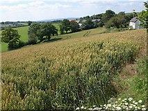 ST0218 : Wheat, Little Fair Oak by Derek Harper