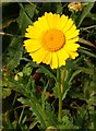 SW7760 : Corn marigold on Pentire West Point by Steve Daniels