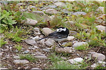 SX9253 : A pied wagtail? by Bill Boaden