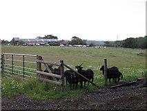 TM1440 : Black sheep in field near Jimmy's Farm by Roger Jones