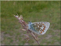 ND1071 : Common Blue butterfly at Holborn Head by sylvia duckworth