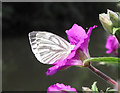 SJ8959 : Butterfly on Willowherb flower by Jonathan Kington