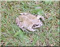SE2033 : Frog - Wildlife in Pudsey by Betty Longbottom