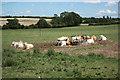 SK7260 : Beesthorpe cattle by Richard Croft