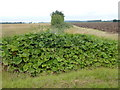 "TF6729 : A large patch of ""wild rhubarb"" - (Burdock?) by Richard Humphrey"