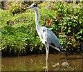 SJ9785 : Grey Heron, standing still by Peter Barr