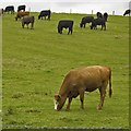 SE9730 : Cattle on Wauldby Green by Paul Harrop
