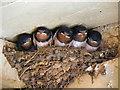 SE8191 : Swallows at Levisham by David Dixon