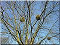TQ3194 : Mistleltoe on Tree at the Green, Winchmore Hill, London N21 by Christine Matthews