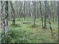NN5908 : Birch woodland in the Pass of Leny by M J Richardson