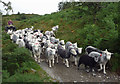 NY3002 : Herdwicks on the move by Karl and Ali