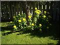 NJ6201 : Yellow compositae in bloom by Stanley Howe