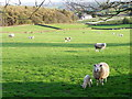 SE2265 : Ewes and lambs near Warsill by Maigheach-gheal