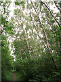 TF7510 : Silver birches growing on railway embankment, Narborough by Evelyn Simak