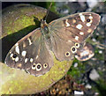 TA0322 : Speckled wood butterfly  (Pararge aegeria) by David Wright