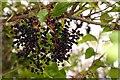 SU4693 : Elderberries by the bridleway by Steve Daniels