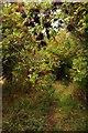 SU4693 : Elderberries over the bridleway by Steve Daniels
