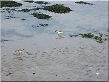 TQ3303 : Sandpipers, Black Rock Beach by Simon Carey