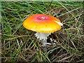 NH7392 : A beautiful mushroom by sylvia duckworth