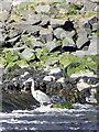 NU2505 : Heron, River Coquet by Maigheach-gheal