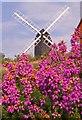 TQ2350 : Bell Heather (Erica cinerea) by Ian Capper