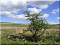 NX9687 : A hawthorn tree on Watchman Moor by Walter Baxter