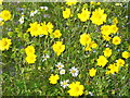NF9081 : Berneray, Machair Flowers by Colin Smith