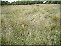 SX8477 : Grasses, Chudleigh Knighton Heath nature reserve  by Robin Stott