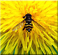 SJ8855 : Hoverfly on a Dandelion by Jonathan Kington