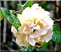 SJ8855 : Rose in the corner by Jonathan Kington