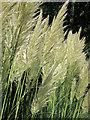 TQ5901 : Pampas Grass by Hampden Park Drive by Oast House Archive