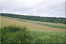 TQ6761 : Wheat field by N Chadwick