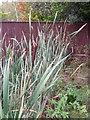 SU1026 : Bulrush (Typha latifolia), Coombe Bissett by Maigheach-gheal