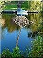 NZ4212 : Giant Hogweed, River Tees near Yarm by Paul Buckingham