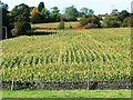 SE2307 : Field of corn, Lower Denby by Christine Johnstone