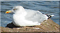 NS1055 : Herring Gull by Anne Burgess