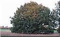 TL4605 : Oak on Crabs Green by Roger Jones