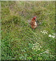 NZ9207 : Chicken at High Hawsker by Graham Horn