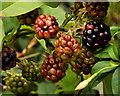 J4582 : Blackberries, Helen's Bay by Albert Bridge