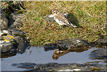 HP5607 : Snow Bunting (Plectrophenax nivalis), Spoo Ness, Westing by Mike Pennington