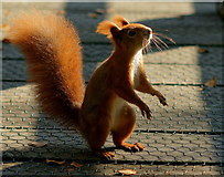 TQ3643 : Squirrel Dance by Peter Trimming