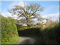 SX8150 : Gnarled sycamore, Lower Cotterbury  by Robin Stott