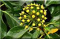 J3369 : Ivy flowers, Belfast (2) by Albert Bridge