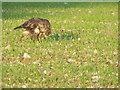 SU0026 : Buzzard (Buteo buteo) by Maigheach-gheal