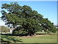 TF0615 : Bowthorpe Ancient Oak Tree by Ian Paterson